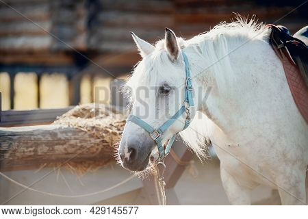 Portrait Of A Grey Horse In A Blue Halter. A Gray Sports Stallion Is Resting. Rural Scene. Equestria