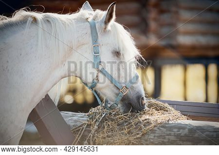 Portrait Of A Grey Horse In A Blue Halter, Which Eats Hay. A Gray Sports Stallion Is Resting. Rural