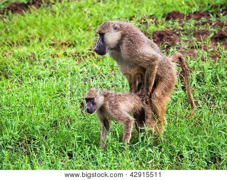 Baboon monkeys during copulation. Safari in Tsavo West, Kenya, Africa