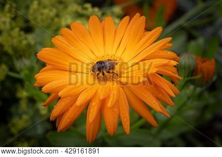 Close Up Of A Fly Pollinating  An Orange Flower