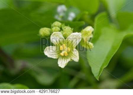 Close Up Of A White Bryony (bryonia Alba) Flower In Bloom