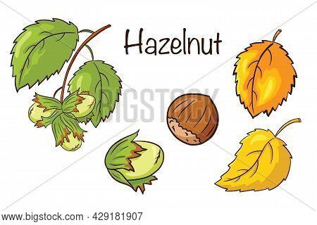 Hazelnut And Leaves Set. Collection Of Hand Drawn Hazelnut Fruits And Leaves. Autumn Decorative Elem