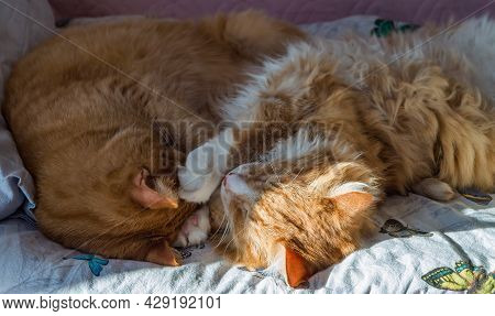 Domestic Cats Sleeping In Their Arms. Two Ginger Cats. Two Cats Cuddling On The Bed.