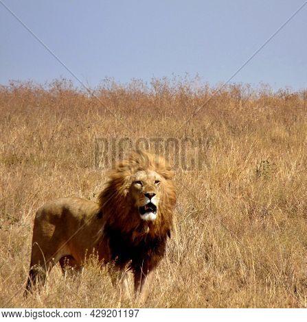 Imposing Adult Lion Standing Alert In Parched Savannah, Serengeti, Kenya