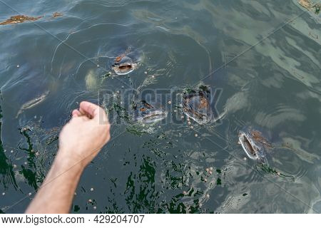 A Flock Of Catfish Swims Near The Surface Of The Water Begging For Food. Feeding Fish In The Park La