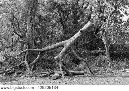 Black And White Tree Trunk Cut By Saw, Symbolic Image Of Destruction Of Nature By Civilized Society.