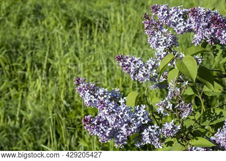Nature In The Spring. Blooming Lilac With Beautiful Gray Flowers. Spring Bloom Concept. Blooming Bac