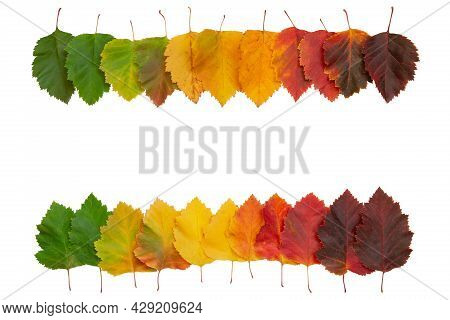 Frame From Bright Autumn Leaves On A White Isolated Background. Red-yellow Leaves Of Hawthorn. Gradu