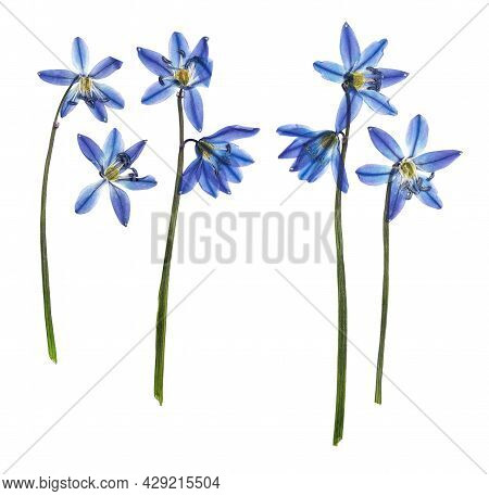 Pressed And Dried Flower Bluebell. One Of The First Flowers Blooming In Early Spring. Isolated On Wh