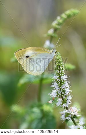 Mint Flowers And Butterfly. Lamiaceae Perennial Herb.