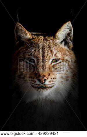 Close Up Lynx Portrait On Black Background