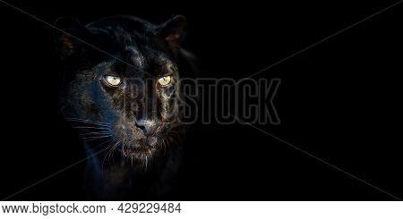 Close Up Leopard Portrait On Black Background
