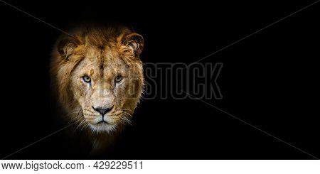 Close Up Lion Portrait On Black Background