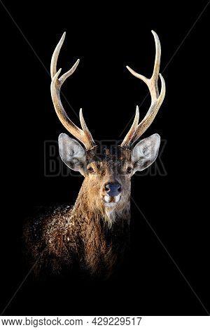Close Up Deer Portrait On Black Background