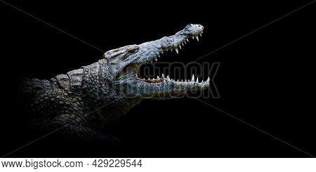 Close Up Crocodile Portrait On Black Background