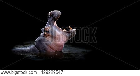 Close Up Hippo Portrait On Black Background
