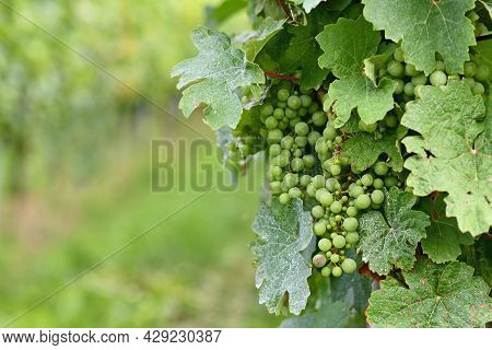 Small Green Wine Grapes In Vineyard With Mildew On Leaves