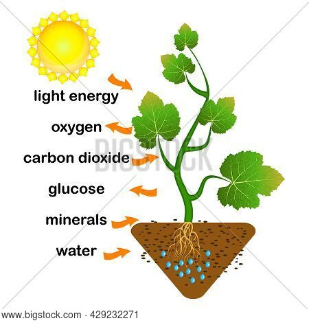 Photosynthesis Diagram. Process Of Plant Produce Oxygen. Photosynthesis Process Labelled. Science Ed