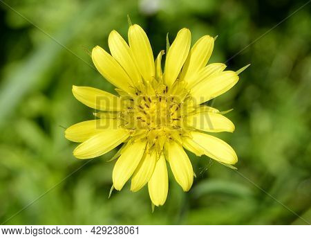 Beautiful Fluffy Blooming Flower Chamomile On Colored Background
