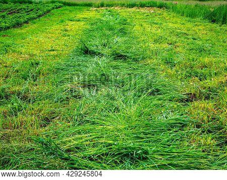 Row Of Cut Green Grass For Feeding Cattle On A Farm.