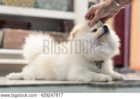 A Small Affectionate Cute White Japanese Pomeranian Dog Is Lying On The Floor, And A Human Hand Is S