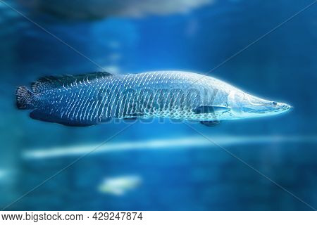 Arapaima Gigas, Predatory Fish In Blue Water Also Known As Pirarucu, Is A Species Of Arapaima Native
