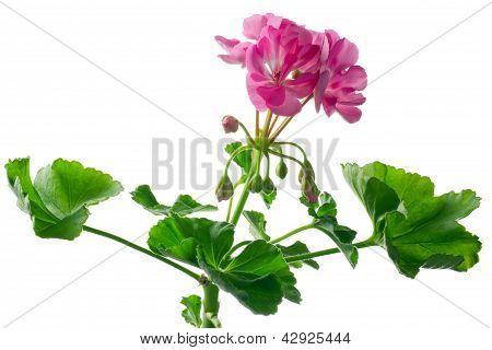 closeup young plant of geranium - scion