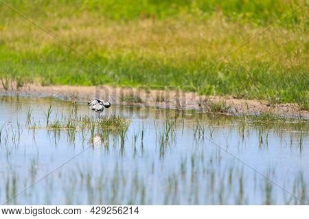 pied avocet bird in nature landscape