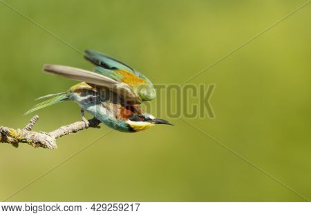 Portrait Of A Perched Bee-eater In Summer, Bulgaria.
