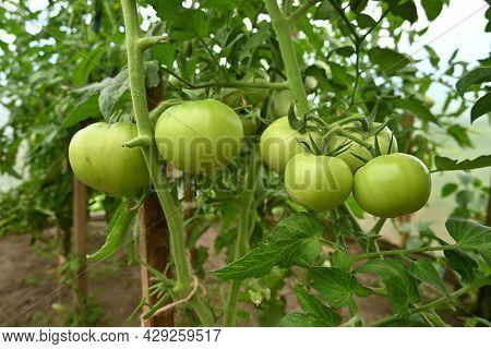 Green Tomato Plant Closeup. Green Tomato Fruit On The Greenhouse Plant With Leaves. Tomato Plantatio