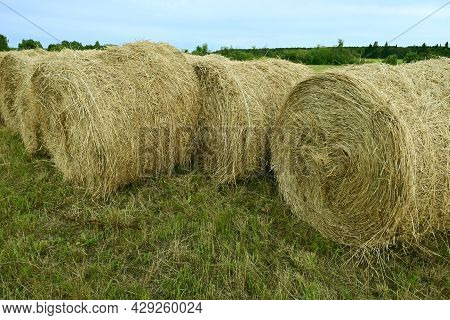 Harvesting Straw Rolls For Farm Animal Feed. Round Rolls Of Hay Are Placed On The Farmer Field. Roun