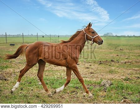 Thoroughbred Mare Galloping In The Paddock Of A Rural Farm On A Sunny Summer Day