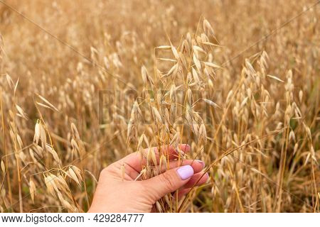 A Woman's Hand Gently Touches The Golden Ripe Ears Of Oats In The Oat Field. Summer Concept, Harvest