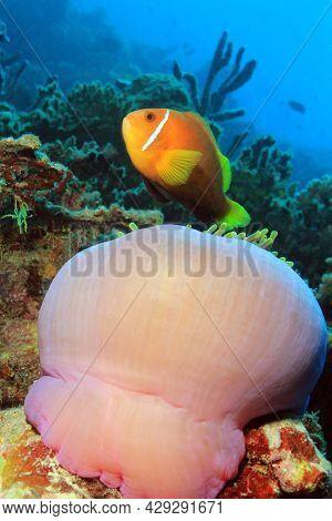 Maldives Anemonefish (amphiprion Nigripes) Above Its Anemone. South Ari Atoll, Maldives