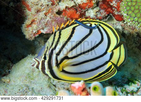 Meyer's Butterflyfish (chaetodon Meyeri). South Ari Atoll, Maldives