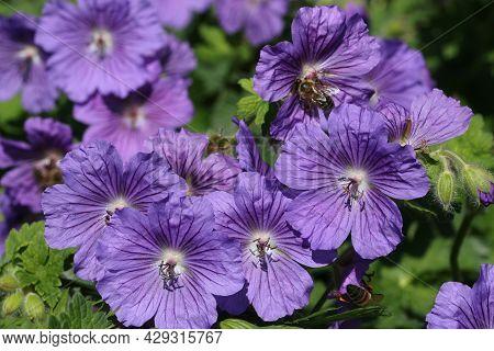 Purple Hybrid Cranesbill, Geranium X Magnificum Clone C, Flowers In Close Up With A Background Of Bl