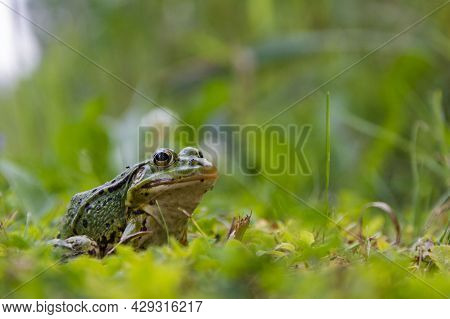 Frog Sitting In The Grass, Toad On The Green Grass, Slippery Cold Frog In Nature, Warts On The Skin.