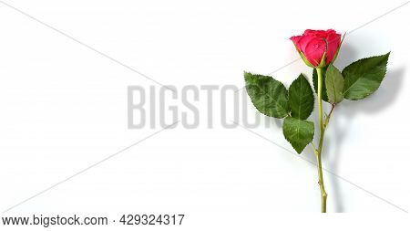 Single Close Up Red Rose On White Background. Beautiful One Flower Over White Background. Isolated R