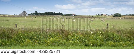 Yellow Summer Flowers And Sheep In Meadow On Dutch Wadden Island Of Texel Under Blue Sky In The Neth