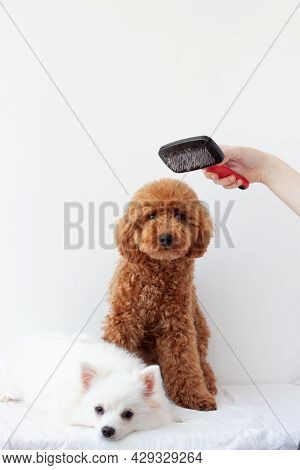 Two Small Dogs A Miniature Poodle And A Pomeranian On A White Background, Above The Poodle A Hand Ho