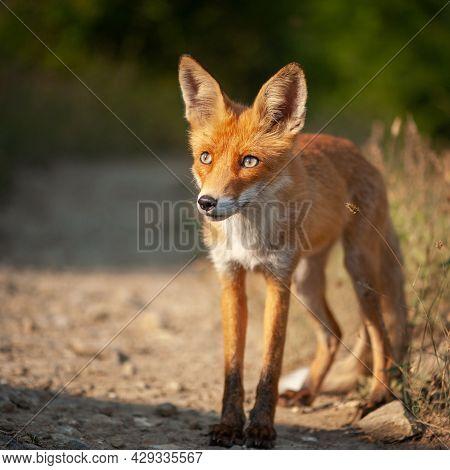 Close Up Of A Red Fox Vulpes Vulpes.
