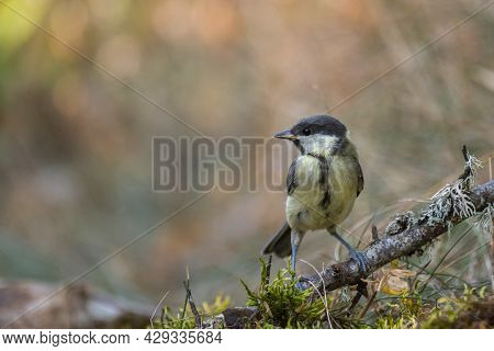 Garden Bird Great Tit, A Songbird Sitting On A Branch. Small Birds In Their Natural Forest Habitat.