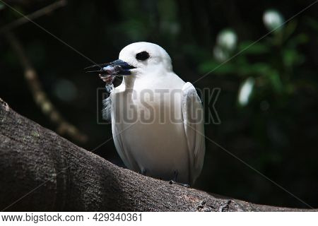 White Tern Perched On Branch With Food