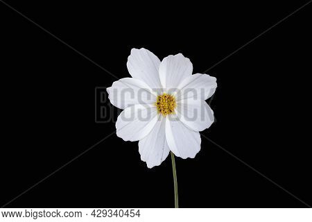 Summer Flowers White Cosmos Flower - In Latin Cosmos Bipinnatus - Isolated On Black Background