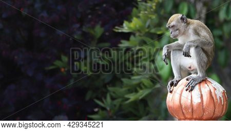 Sad monkey male sits on ancient stone decorative element. Horizontal background with cute monkey. Copy space for text