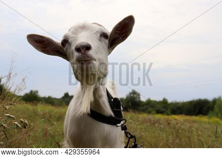 Portrait Of A Curious Funny White Goat On A Meadow Against Sky