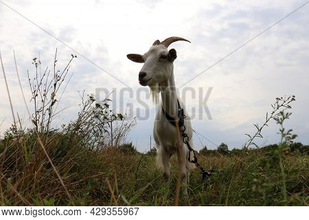 White Goat On The Pasture Against Blue Sky Background. Low View