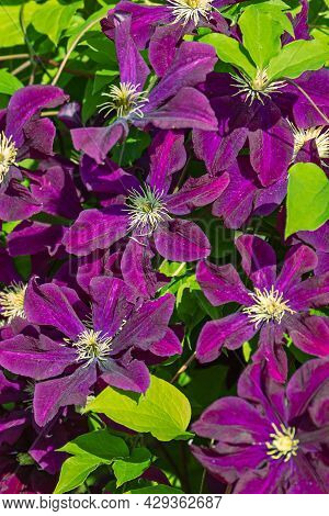 Pink Flowers Clematis Ville De Leon, A Beautiful Garden Plant With Large Magnificent Flowers Bloomin