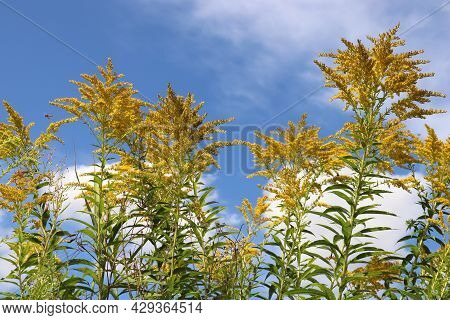 Field Of Yellow Flowers Against Blue Sky With White Clouds. Medicinal Plant Goldenrod On The Summer