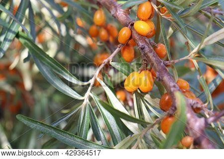 Sea buckthorn Berries Of A Tree. Close-up Of Ripe Orange Hippophae Berries On A Bush
